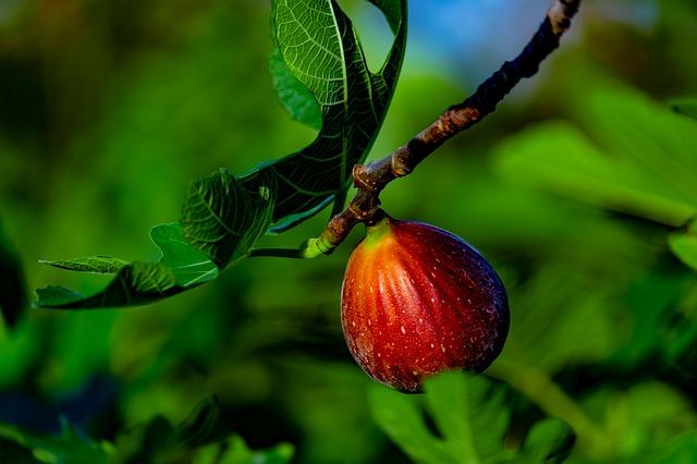 smokvata-najlekovito-ovoshje